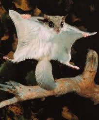 Flying squirrels can't fly, but they can hang glide no problem.