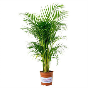 Air Purifying Plants-Areca Palm
