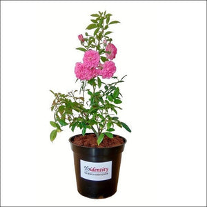 Flowering Plants-Orchid Rose (Baby Pink)