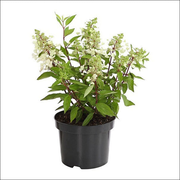 Flowering Plants-Cuphea Plant(White)