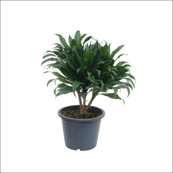 Air Purifying Plants-Dracaena