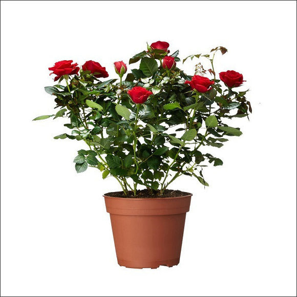 Dutch Rose (Red)