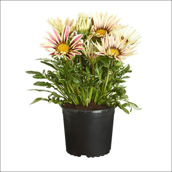 Flowering Plants-Gazania (White & Pink)
