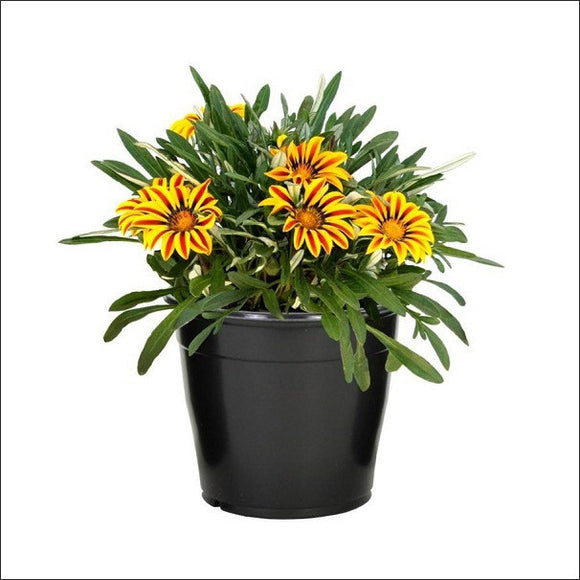 Flowering Plants-Gazania (Yellow & Orange)
