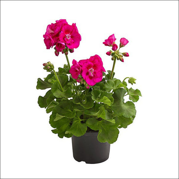 Flowering Plants-Geranium