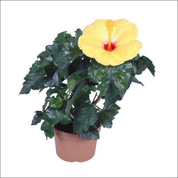 Flowering Plants-Hibiscus
