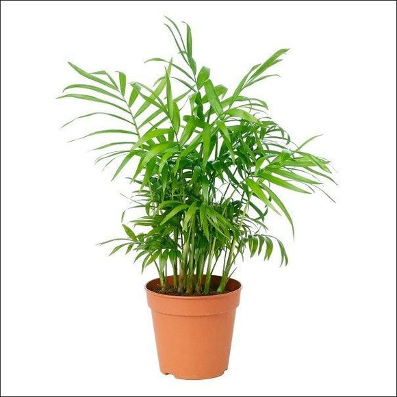 Air Purifying Plants-Hybrid Areca Plant
