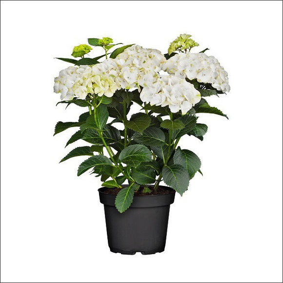 Flowering Plants-Hydrangea Plant