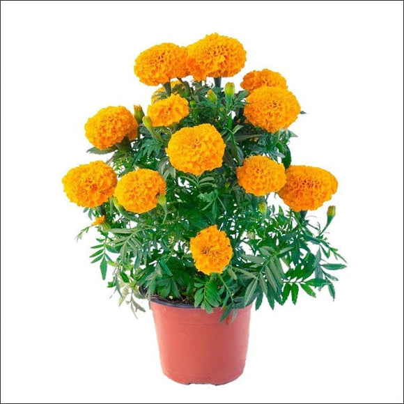 Flowering Plants-Marigold Plant