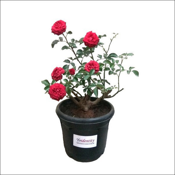 Button Rose (Red)