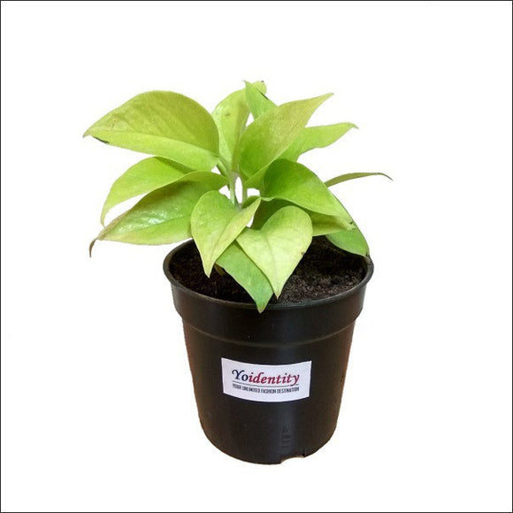 Air Purifying Plants-Money Plant Golden