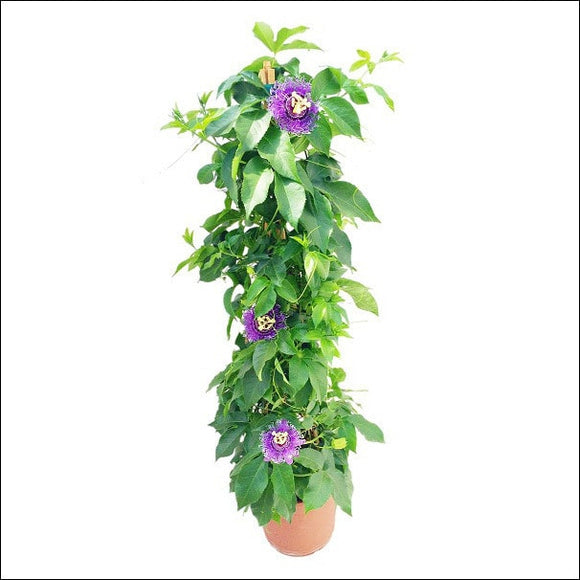 Flowering Plants-Passiflora (Purple)