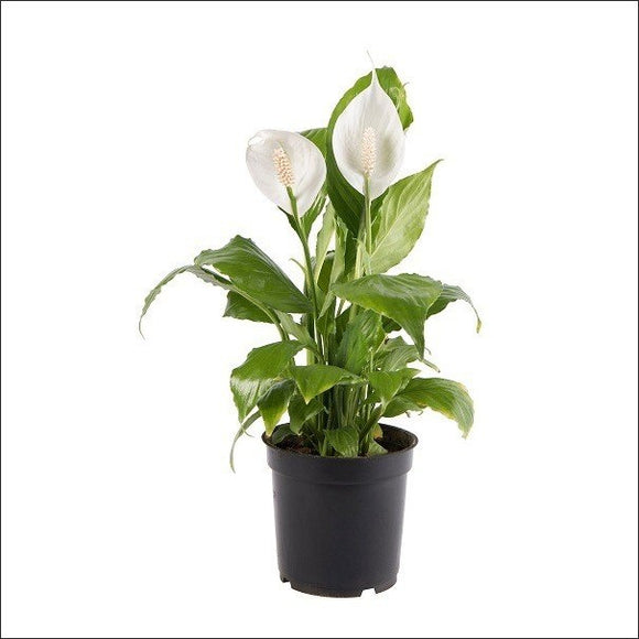 Flowering Plants-Peace Lily Plant