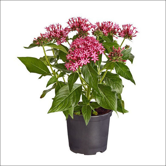 Flowering Plants-Pentas