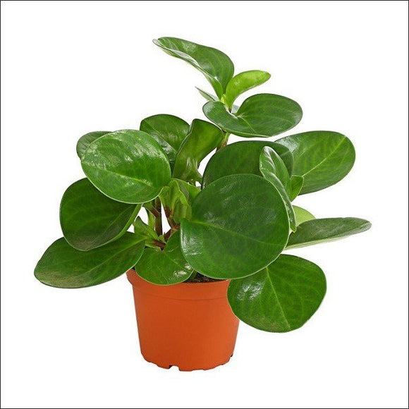 Air Purifying Plants-Peperomia