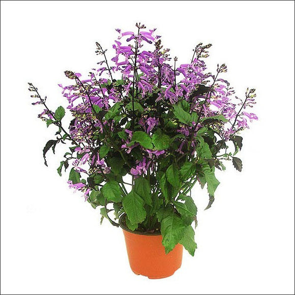 Flowering Plants-Mona Lavender Plant