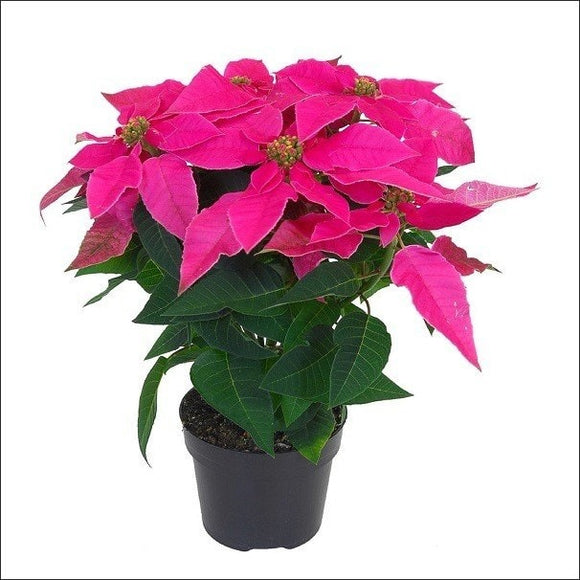 Flowering Plants-Poinsettia Plant