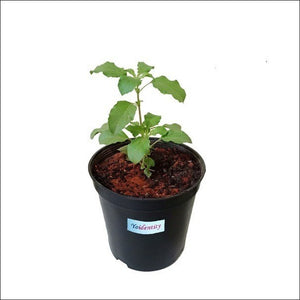 Air Purifying Plants-Rama Tulsi (Green)