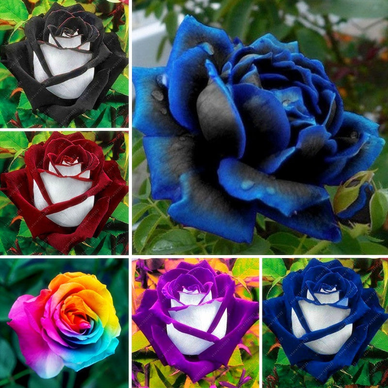 Rare Blue Rose Blooming Midnight Rose Flower Plant Petal Garden Flower (20/50Pcs)