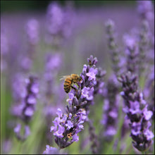 Load image into Gallery viewer, Lavender 140 mm