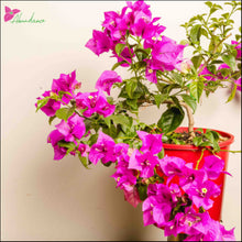 Load image into Gallery viewer, Bougainvillea glabra Assorted 140 mm