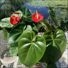 Load image into Gallery viewer, Anthurium Assorted 200 mm
