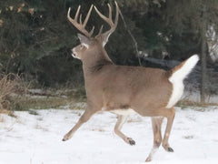 White-tailed buck running to the tree line