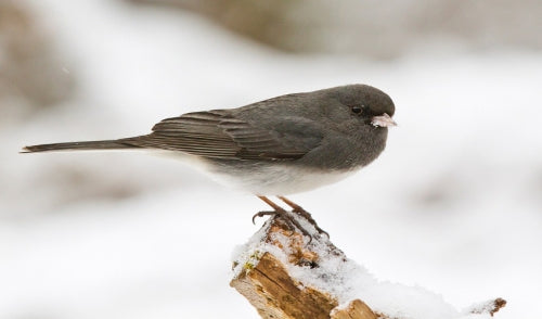 Winter Birds to Watch for and How to Attract Them
