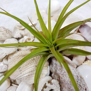 Air-plant Tillandsia Brachycalous - Travel Recommends Shop