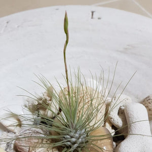 Air-plant Tillandsia Fuchsii v. Gracilis - Travel Recommends Shop