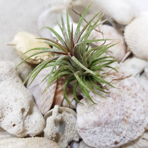 Air-plant Tillandsia Ionantha Fuego - Travel Recommends Shop