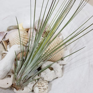 Air-plant Tillandsia Juncea - Travel Recommends Shop