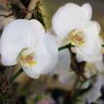Potted White Phaleonopsis Orchid