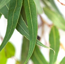 Organic Essential Oil - Eucalyptus Radiata