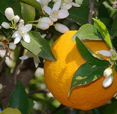 Sweet Orange | Organic Essential Oil