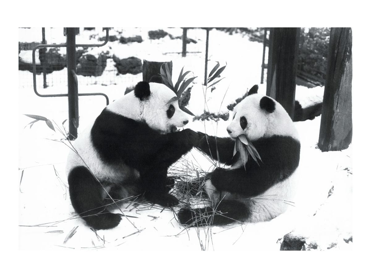 Ching Ching greets Chia Chia, December 1981