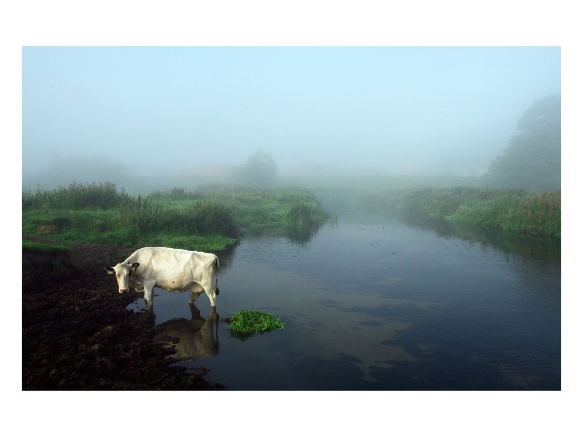 Cow in River, Suffolk coast, 2008