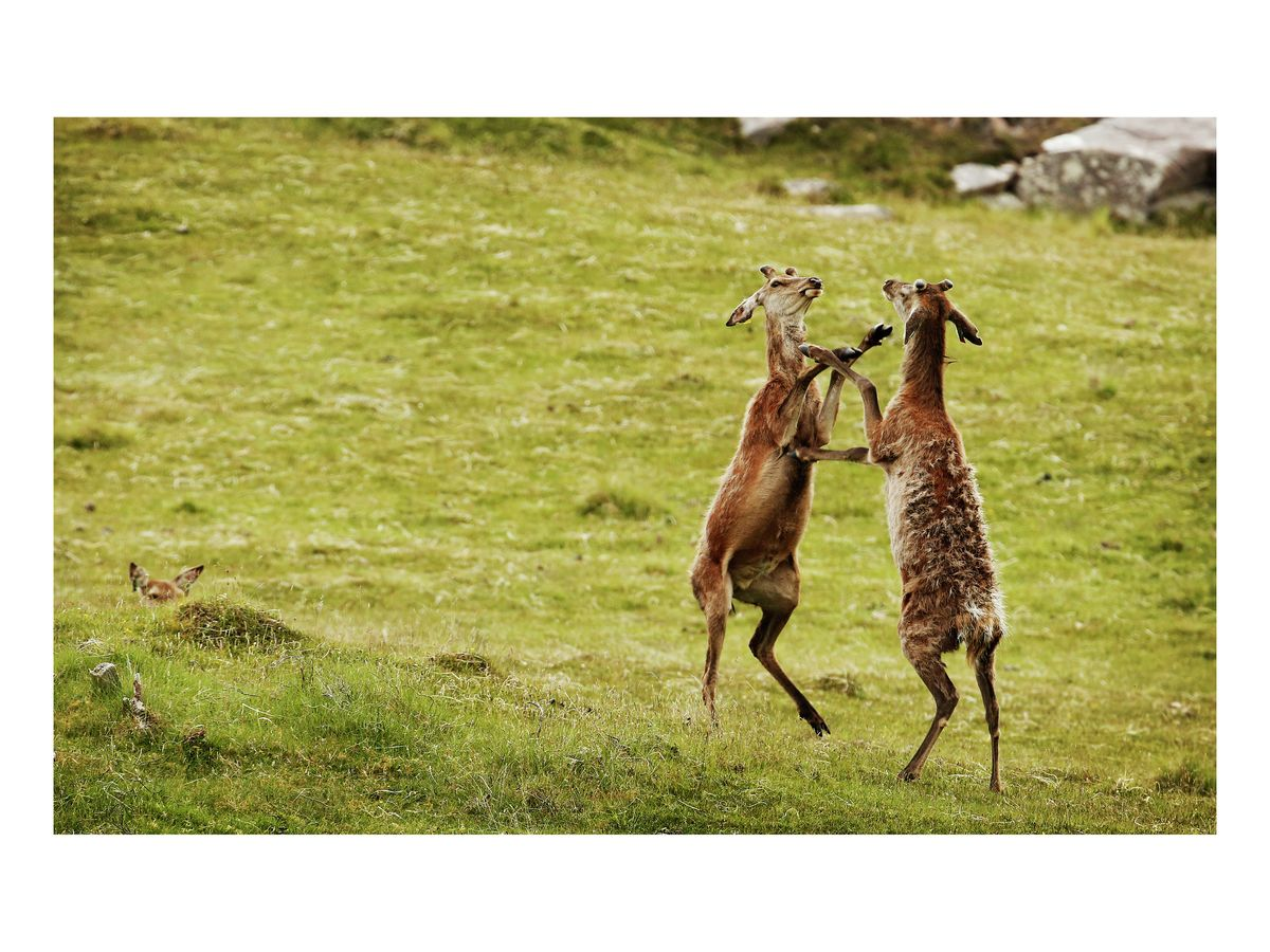 Sparring stags, June 2018