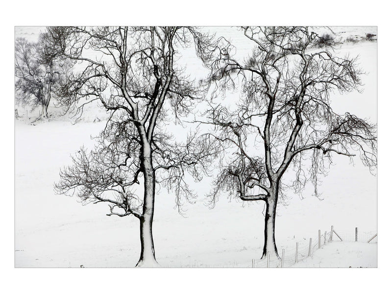 Snow Blasted Trees