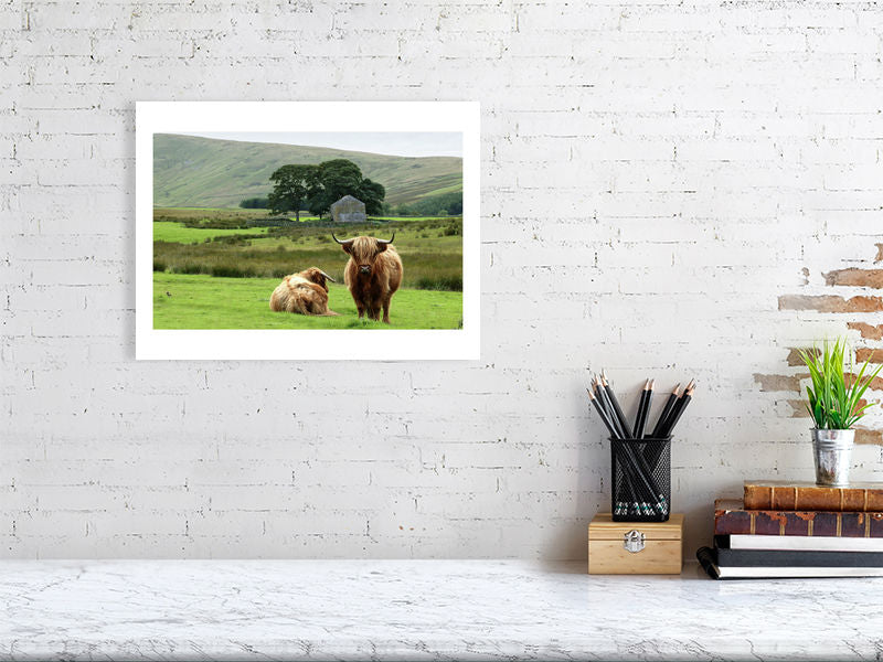 Highland cattle, Cumbria, 2004