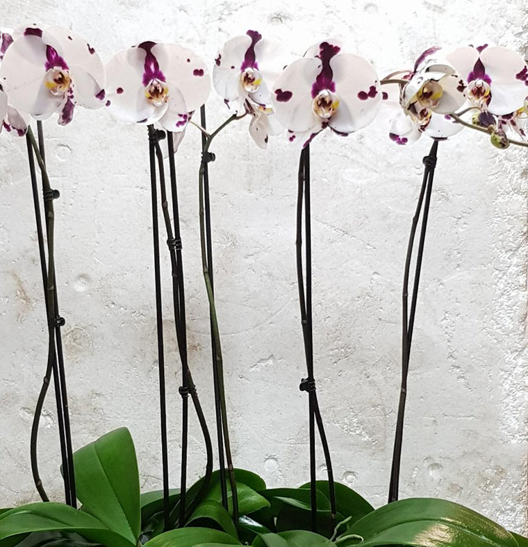 Potted Phalenopsis Plants