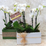 Phalaenopsis Orchid Plants with Ceramic Base