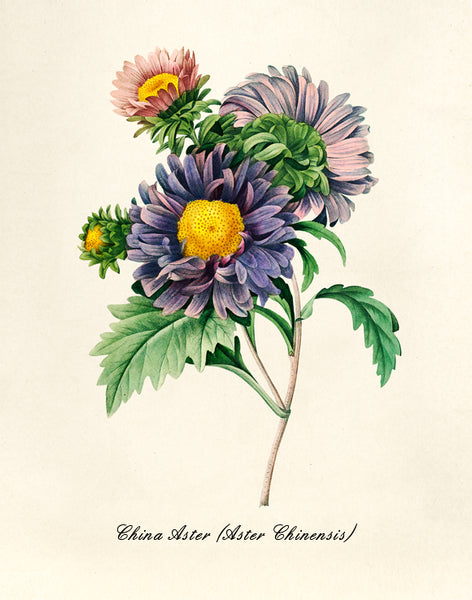 China Aster Print, Botanical Print, Vintage Plant Art, Botanical Wall Art, F1036