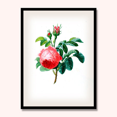 Rose A Cent Feuilles Print, Botanical Print, Vintage Plant Art, Botanical Wall Art, F1008