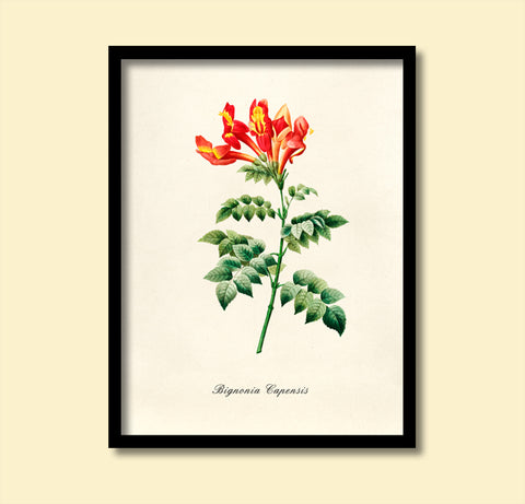 Bignonia Print, Botanical Wall Art, Nursery Decor, Vintage Plant Art, F1034