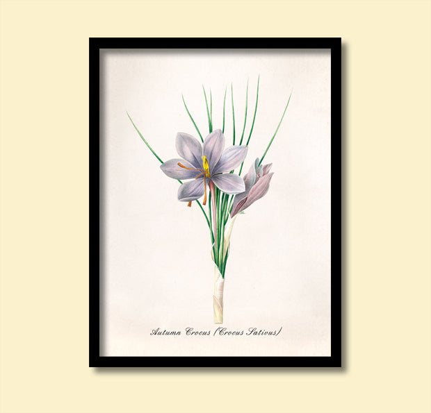 Autumn Crocus Flowers Print, Botanical Print, Vintage Plant Art, Botanical Wall Art, F1032