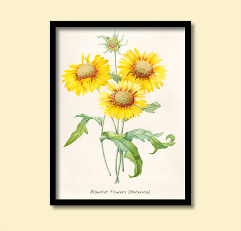 Blanket Flowers, Sunflower Print, Botanical Print, Vintage Plant Art, Botanical Wall Art, F1035