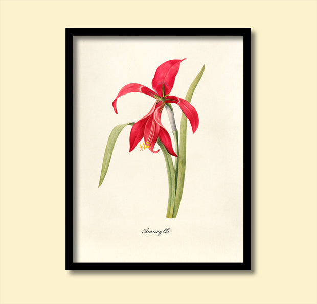 Red Amaryllis Print, Botanical Print, Vintage Plant Art, Botanical Wall Art, F1031
