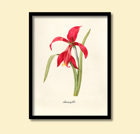 Red Amaryllis Print, Botanical Print, Vintage Plant Art, Botanical Wall Art, F1033