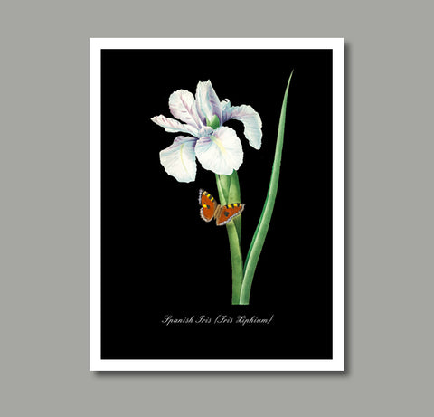 Spanish Iris with Butterfly Print, Botanical Print, Vintage Plant Art, Botanical Wall Art, F1037
